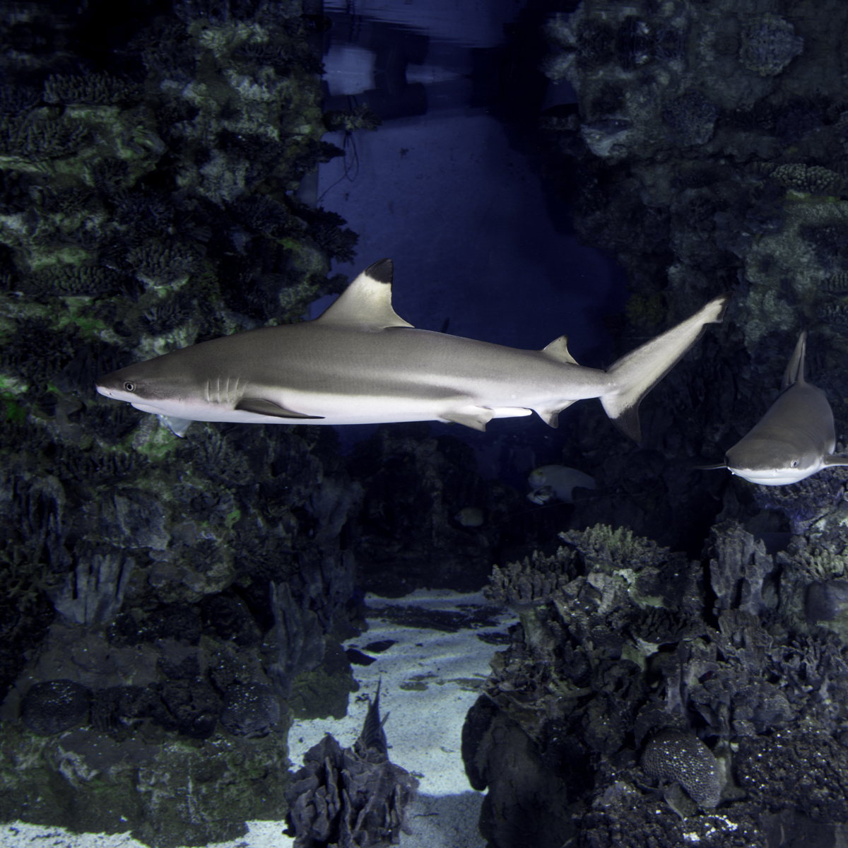 Did You Know That The Blacktip Reef Sharks Cannot Stop Swimming Just Like Other Their Breathing Is Pive They Need To Swim Continuously