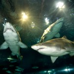 inmersion-con-tiburones-aquarium-barcelona-3