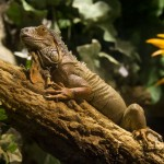 iguana-universo-tropical-aquarium-barcelona