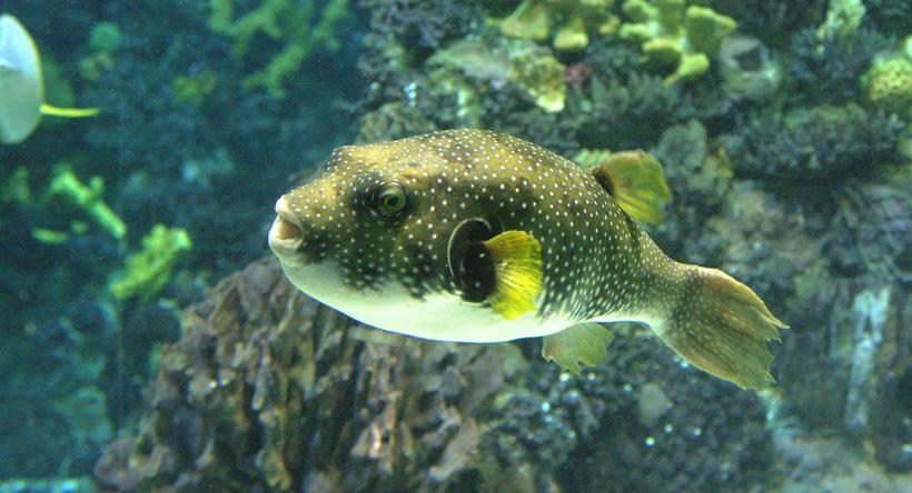 El pez globo es uno de los animales marinos más peligrosos del mundo