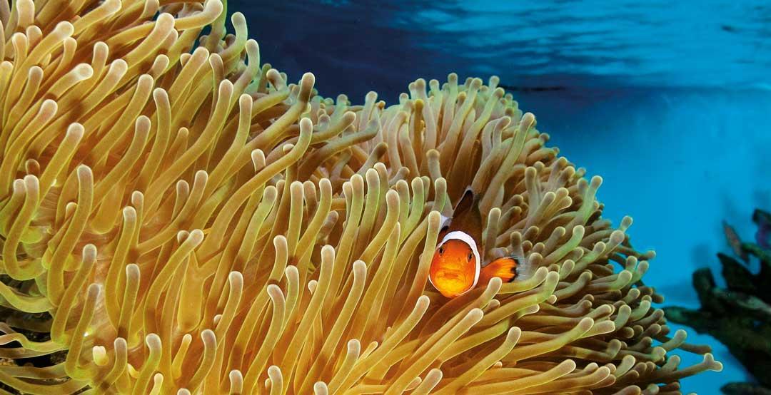 Un pez payaso y las anémonas en un acuario domestico de agua salada