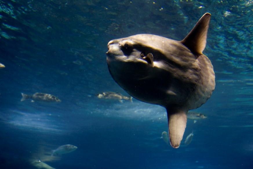 Un pez luna puede desovar hasta 300 millones de huevos